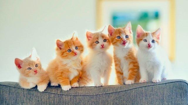 Пять голубоглазых котят сидят на диване и смотрят в одну сторону