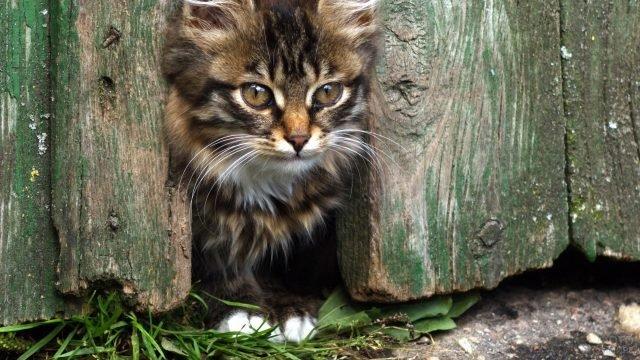 Пушистый котёнок выглядывает из-под забора