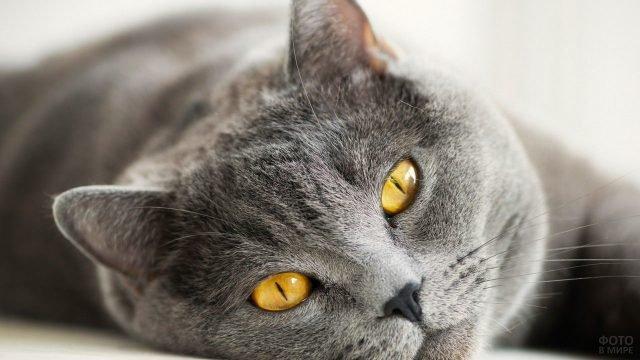 Серый котя с горчичным цветом глаз