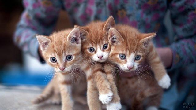 Три рыжих котёнка на руках у девушки