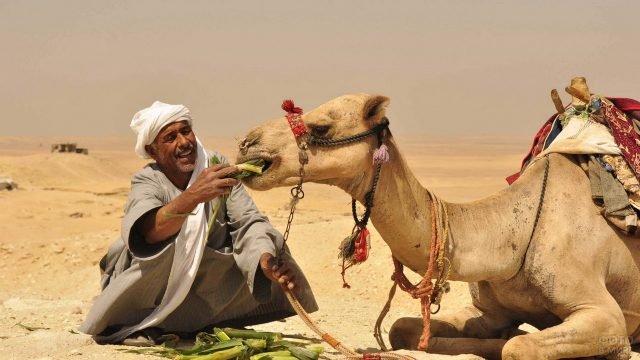 Бедуин в бурнусе кормит верблюда