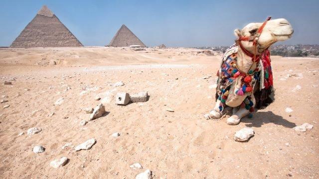 Белый верблюд на фоне пирамид