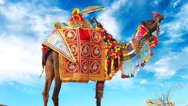 Богатый верблюжий наряд