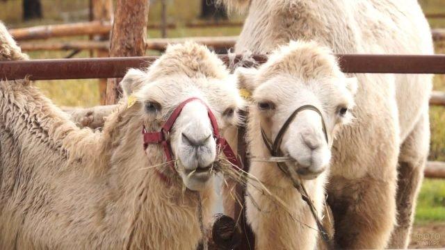 Два белых верблюда пережёвывают сено