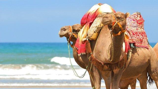 Два гружёных верблюда на берегу моря
