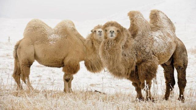 Двухгорбых верблюдов припорошило снегом