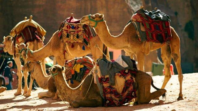 Гружёные верблюды с красивыми сёдлами