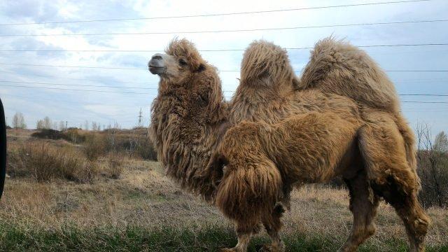 Казахский двугорбый верблюд с густой шерстью гуляет в степи