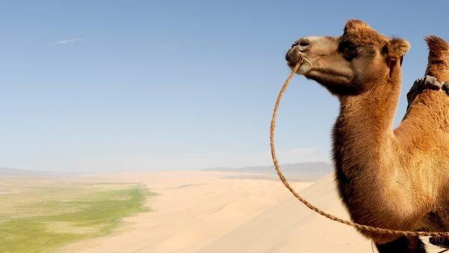 Морда верблюда на фоне пустыни