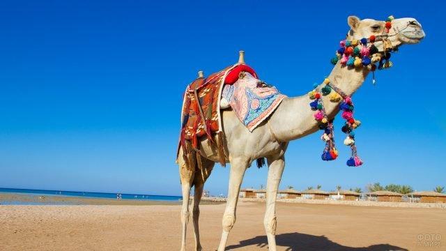 Нарядный верблюд на пляже