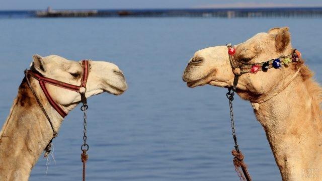 Пара верблюдов друг напротив друга