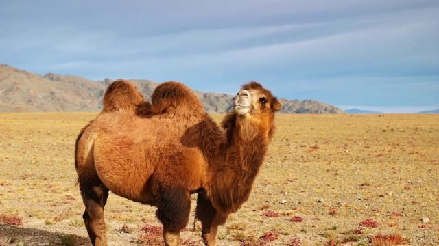 Рыжий верблюд смотрит в камеру