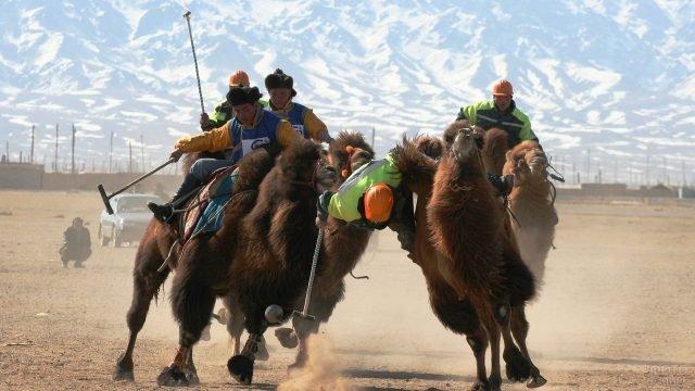 Соревнования на верблюдах
