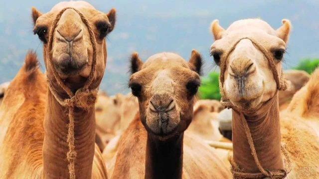 Три верблюда смотрят в камеру