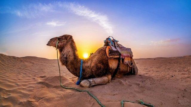 Верблюд лежит в пустыне на фоне заката