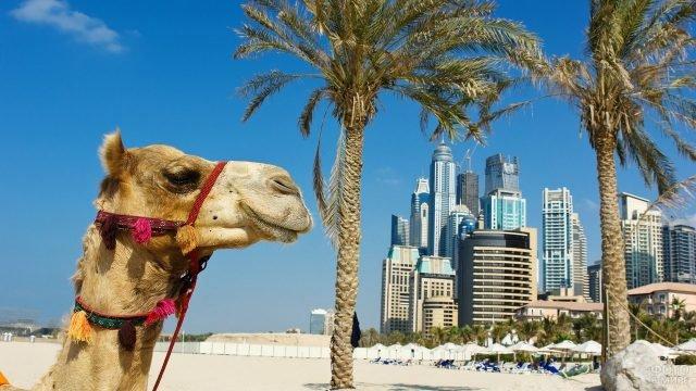 Верблюд на фоне небоскрёбов в Арабских эмиратах