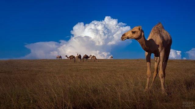 Верблюд отошёл от стада стоит на фоне красивого неба