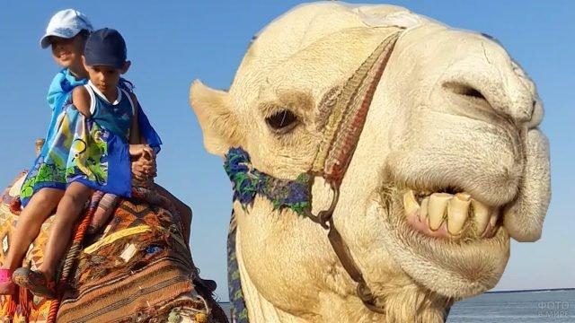 Верблюд с детьми крупным планом
