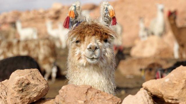 Верблюд с разноцветными кисточками на ушах