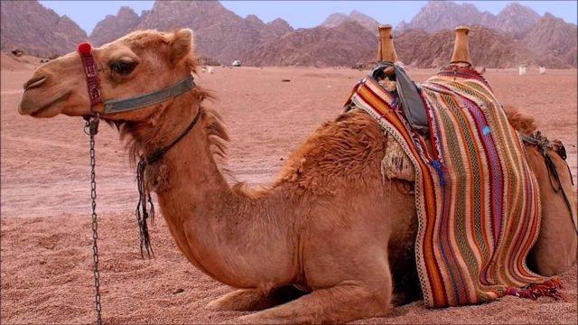 Верблюд сидит на фоне холмов