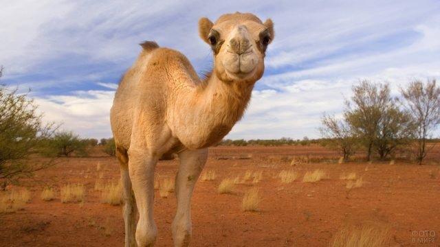 Верблюд в саванне смотрит в камеру