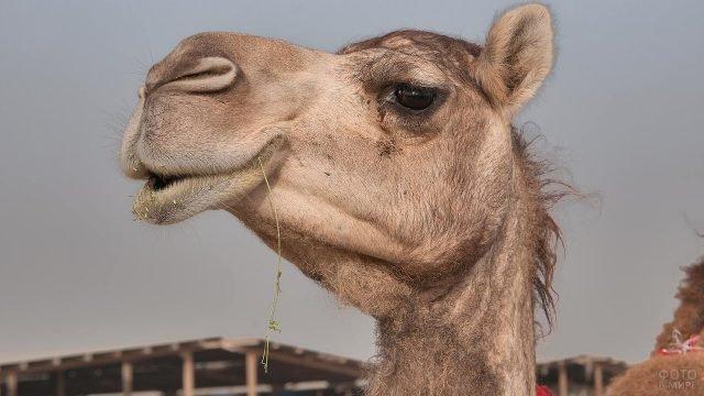Верблюд жуёт сено