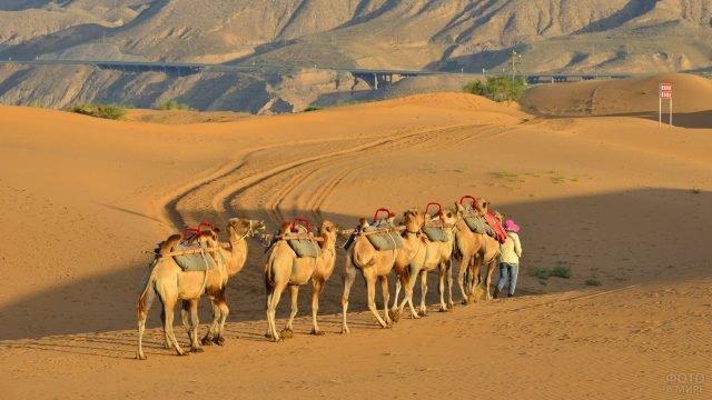 Верблюды идут за человеком