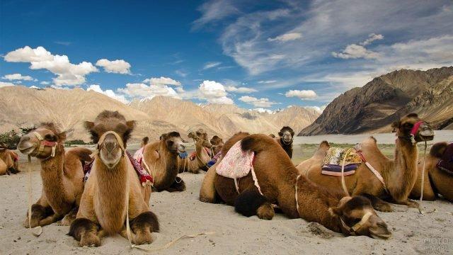 Верблюды отдыхают на фоне гор
