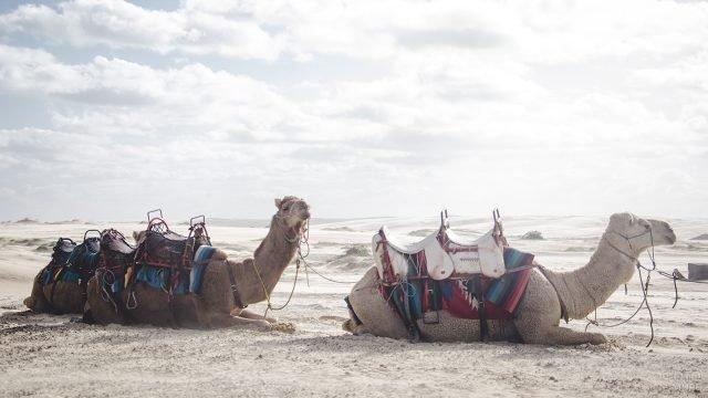 Верблюды с двухместными сёдлами на спинах