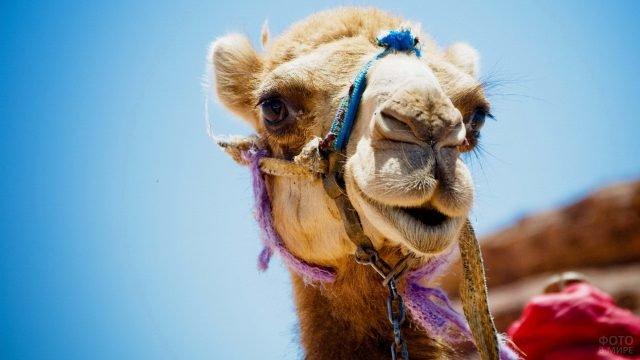 Забавная морда любопытного верблюда