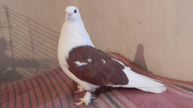 Белая голубка с коричневым крылом