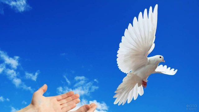 Белый голубь взлетает с рук на фоне синего неба