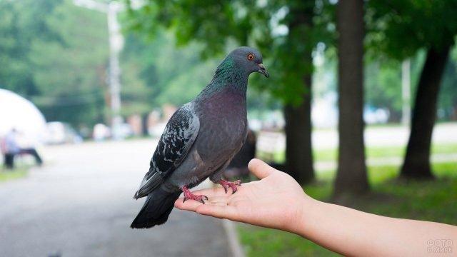 Человек держит голубя на руке