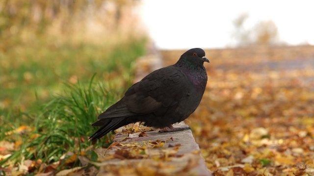 Чёрный голубь сидит на бордюре в осенней листве