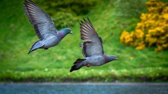 Два голубя пролетают над озером