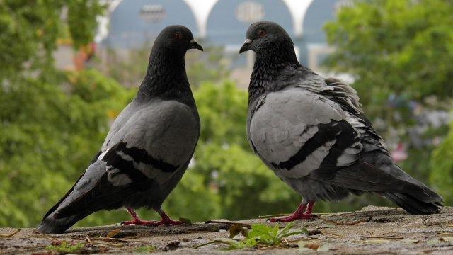 Голубь и голубка сидят друг напротив друга