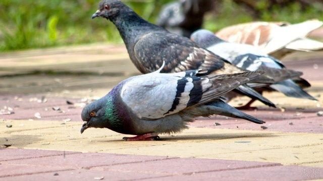 Компания голубей клюёт зёрнышки