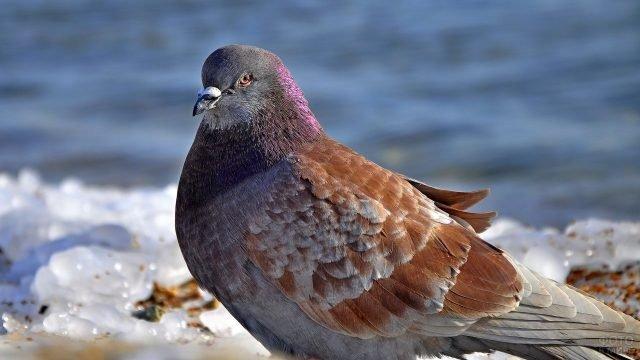 Коричневая голубка гуляет по берегу моря