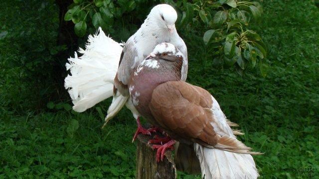 Коричневые голубь с голубкой сидят в саду