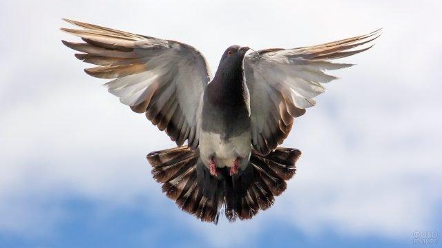Коричневый голубь с распахнутыми крыльями