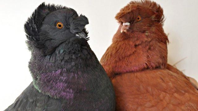 Коричневый и серый голубь с хохолками