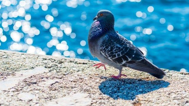 Молодой голубь шагает вдоль набережной
