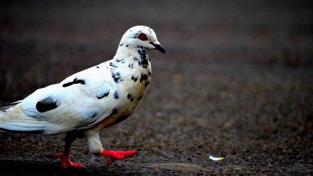 Мраморный голубь шагает по асфальту