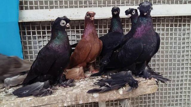 Необычная порода голубей с перьями на лапках