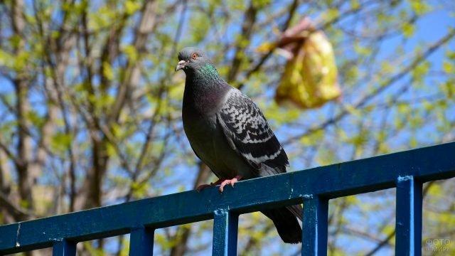 Одинокий голубь сидит на синей ограде