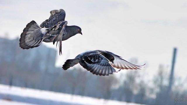Пара голубей пролетает над городом