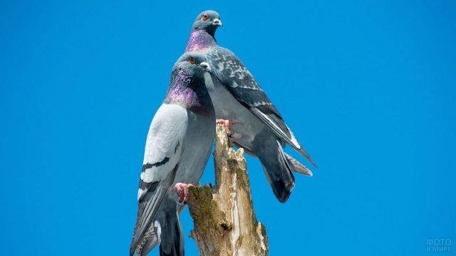 Серые голуби на фоне синего неба