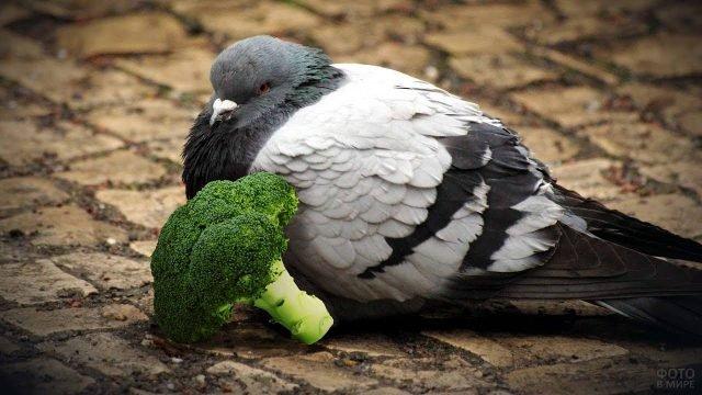 Серый голубь с брокколи сидит на брусчатке