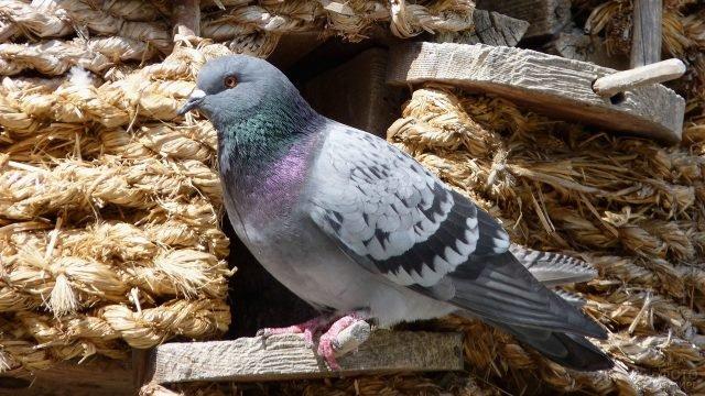 Серый голубь сидит на жёрдочке в голубятне
