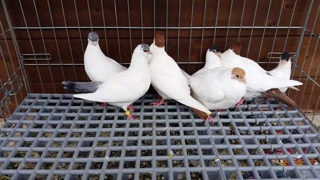 Шесть белых голубей в клетке